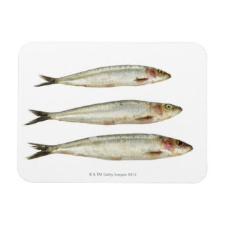 Sardines (Pilchards) 2 Rectangular Photo Magnet