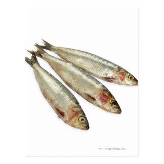 Sardines (Pilchards) Postcard