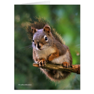 Saucy Red Squirrel in the Fir Card