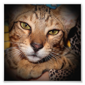 SAVANNAH CAT PRINT ART PHOTO