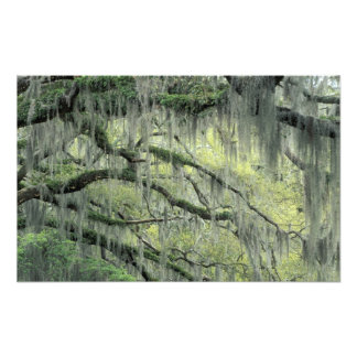 Savannah, Georgia, Live Oak tree draped with Art Photo