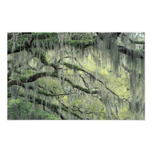 Savannah, Georgia, Live Oak tree draped with Photo Art