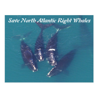 Save North Atlantic Right Whales by Rose Postcard