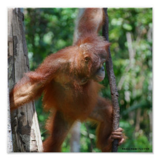 Save Orangutans Borneo Wildlife Poster