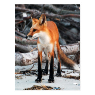Save Our Planet series red fox post card