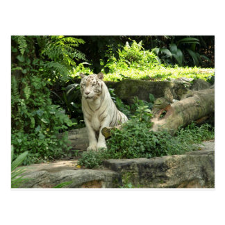 Save the Wild White Tiger Postcard