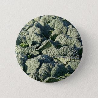 Savoy cabbage plants in a field. 2 inch round button