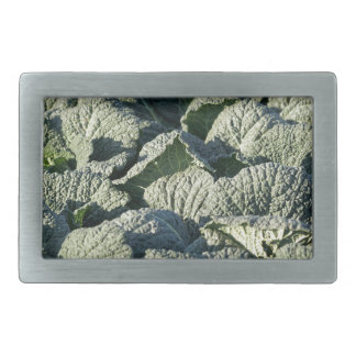 Savoy cabbage plants in a field. belt buckles