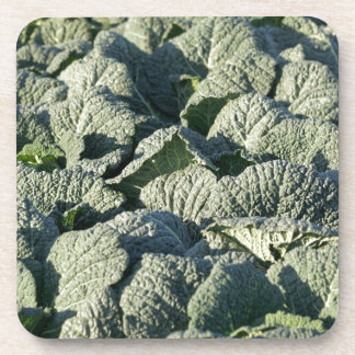 Savoy cabbage plants in a field. coaster