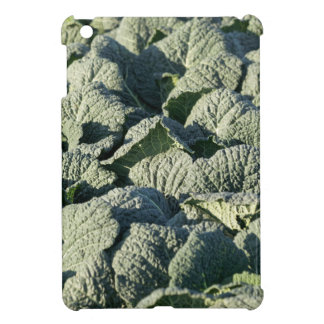 Savoy cabbage plants in a field. cover for the iPad mini
