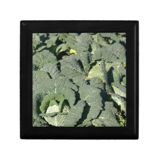 Savoy cabbage plants in a field. gift box