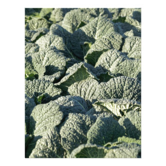 Savoy cabbage plants in a field. letterhead