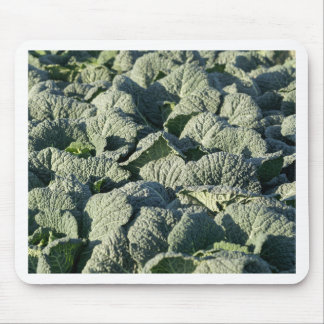 Savoy cabbage plants in a field. mouse pad
