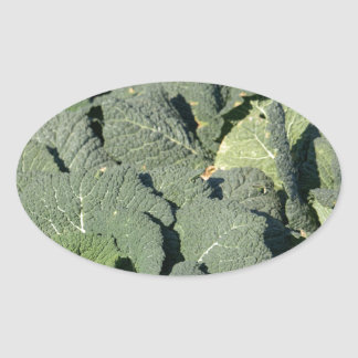 Savoy cabbage plants in a field. oval sticker