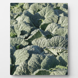 Savoy cabbage plants in a field. plaque
