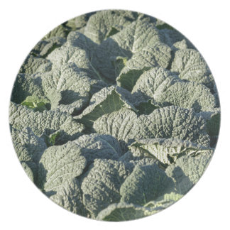 Savoy cabbage plants in a field. plate