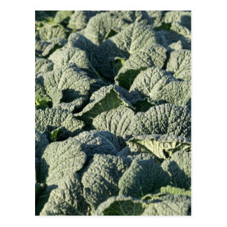 Savoy cabbage plants in a field. postcard