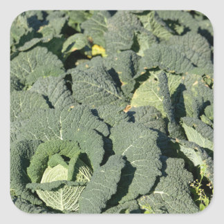 Savoy cabbage plants in a field. square sticker