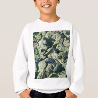 Savoy cabbage plants in a field. sweatshirt
