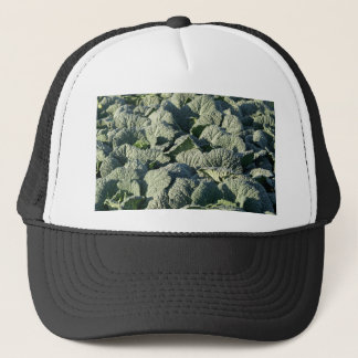 Savoy cabbage plants in a field. trucker hat