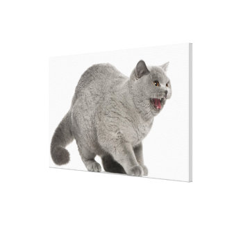 Scared British Shorthair hissing (8 months old) Canvas Prints