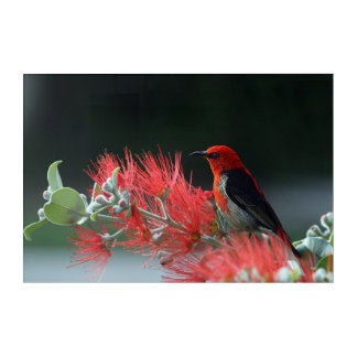 Scarlet honeyeater acrylic print