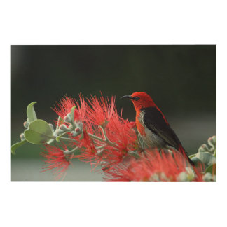 Scarlet honeyeater wood wall art