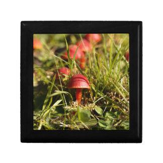 Scarlet hood fungi, Hygrocybe coccinea Gift Box