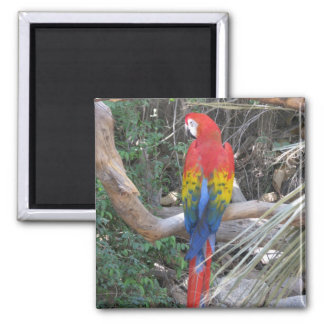 Scarlet Macaw - From the Back Square Magnet