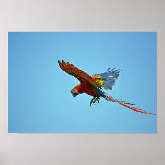 Scarlet Macaw in Flight Poster