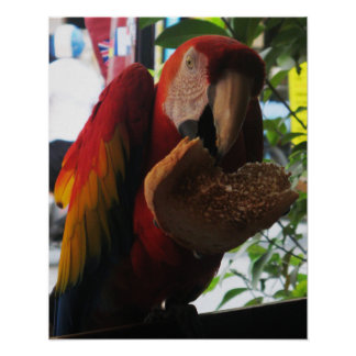 Scarlet Macaw Parrot Eating Toast Poster