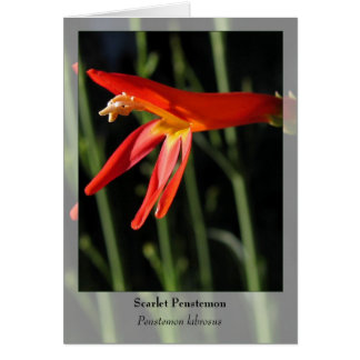 Scarlet Penstemon - Native Notecard