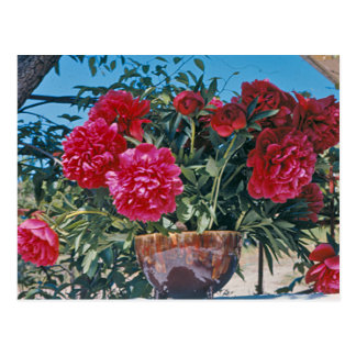 Scarlet Peony by H.D. Peterson 1972 Postcard