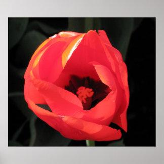 Scarlet Tulip Poster
