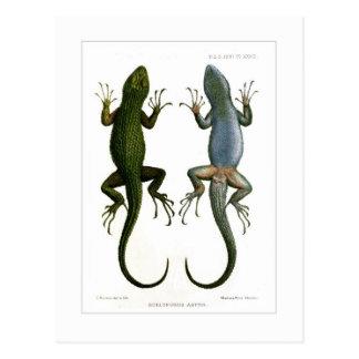 Sceloporus asper postcard