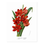 Schizostylis coccinea (Kaffir lily) Postcards