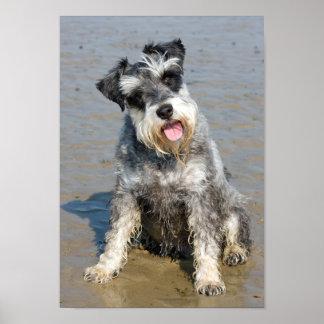 Schnauzer miniature dog cute photo at the beach poster