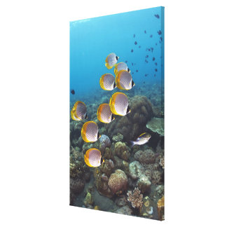 School of angelfish canvas print
