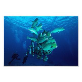 """School of Bumpheaded Parrot Fish"" Photo Print"