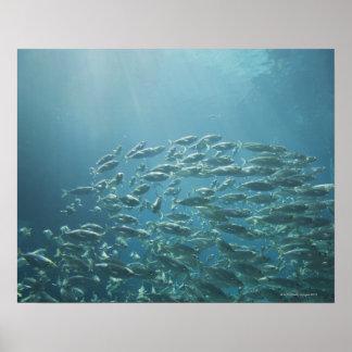 School of fish, Nassau, Bahamas Poster