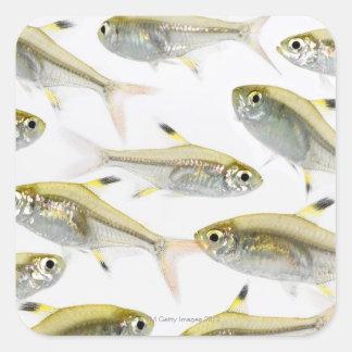 School of X-ray tetra fish (Pristella Square Sticker