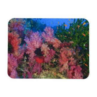 schooling Fairy Basslets  (Pseudanthias 4 Rectangular Photo Magnet