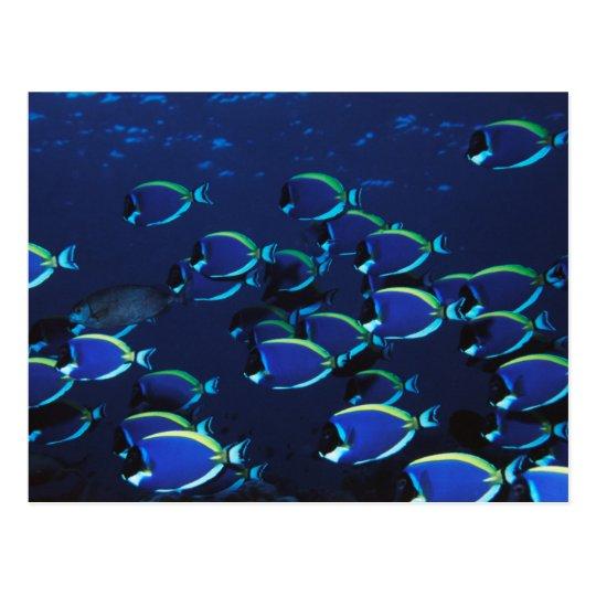 Schooling Powder Blue Surgeonfish Postcard