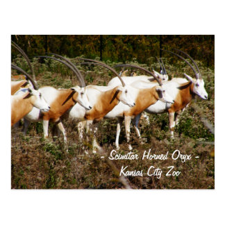 Scimitar Horned Oryx Postcard