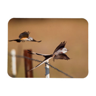 Scissor-Tailed Flycatchers (Tyrannus Forficatus) Magnet