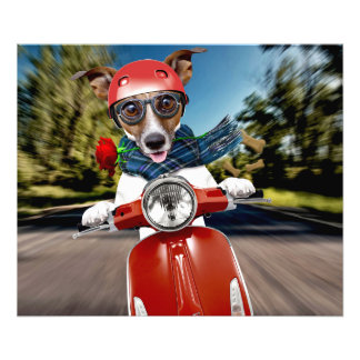 Scooter dog ,jack russell art photo