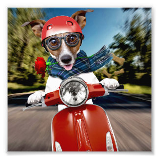 Scooter dog ,jack russell photographic print