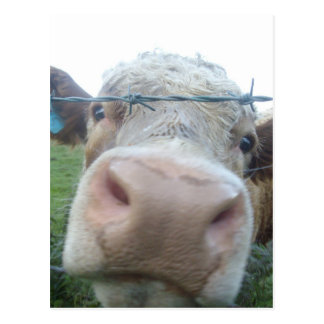 Scottish cow postcard
