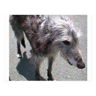 scottish Deerhound full.png Postcard