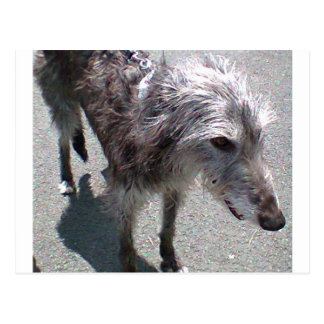 scottish Deerhound full.png Postcard
